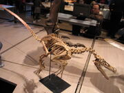 Velociraptor 28-12-2007 15-06-24