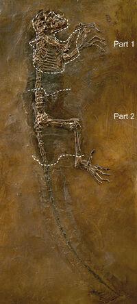 Darwinius masillae slab1