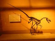 Saurornitholestes MOR1