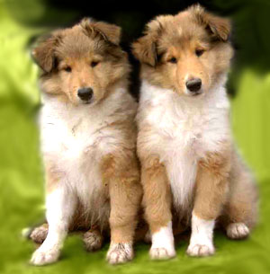File:Cute collie puppies.jpg