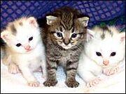 Hypoallergenic-cat