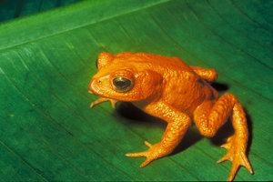 Orange Frog tiny