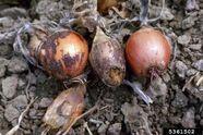 Onion Fusarium Damping Off