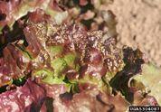 Lettuce Palestriped Flea Beetle
