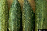 Cucumber Cucumber Mosaic Virus 2