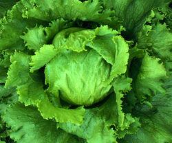 Lettuce-1-