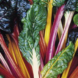 Leaf-beet-bright-lights-plants-pack-of-18-plug-1-