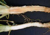 Parsley Phytophthora primulae