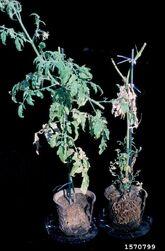 Tomato Root-Knot Nematode