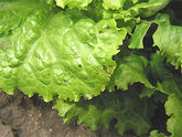 Lettuce Bacterial leaf spot Xanthomonas campestris pv. vitans1