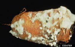 Carrot Sclerotinia Rot