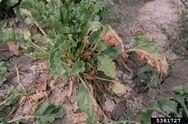 Common Beet Fusarium Wilt Fusarium oxysporum f.sp. betae