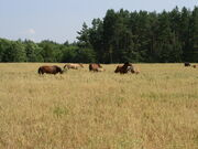 Belarus-Minsk Province-Horses