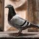 Braavosi Pigeon