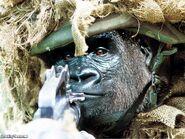 Gorilla-Warfare-18468