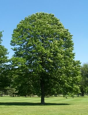 Thousand Years Old Linden Tree Stock Photo 15023629 - Shutterstock