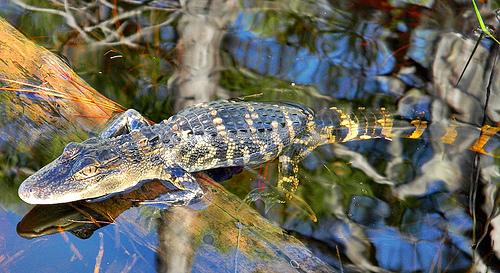 File:Baby Alligator.jpg