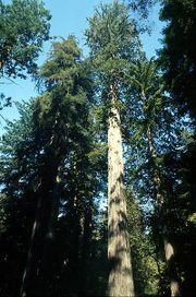 File:180px-Coastal redwood.jpg