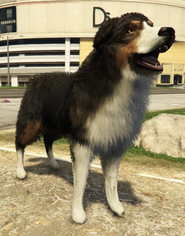 BorderCollie-GTAV-PS4