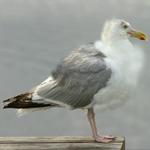 Cj seagull