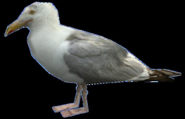 File:Seagull-EFLC.png