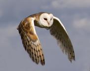 Barn Owls Guardians Of Ga Hoole Wiki Fandom Powered By