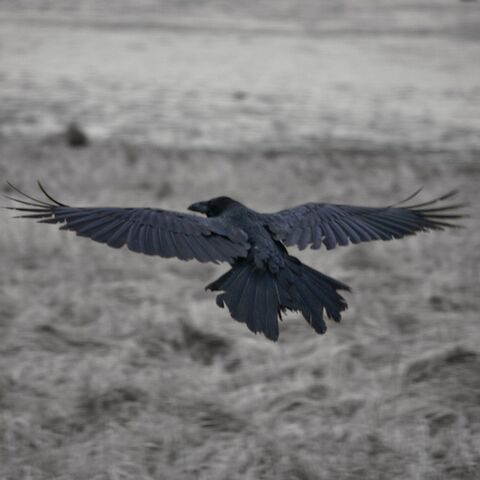 File:Raven-9850.jpg
