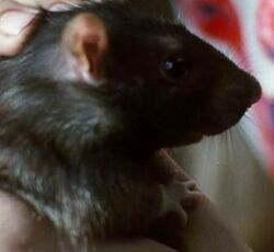 Elvis the Rat
