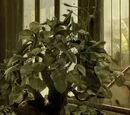 Venomous Tentacula leaf