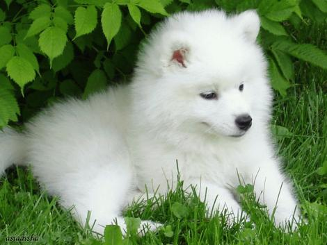 File:Samoyed Puppy.jpg
