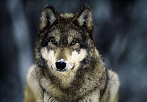 File:Gray wolf11.jpg