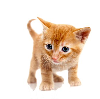 File:Cat PNG1631.png
