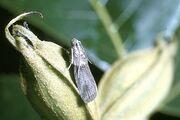 Acrobasis nuxvorella