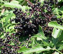 220px-Elderberries2007-08-12