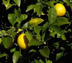 Limonero (Citrus limon Swing.)J.S. Peterson @ USDA-NRCS PLANTS Database.