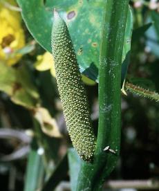 Ácoro (Acorus calamus L.)Foto: Elaine Haug @ USDA-NRCS PLANTS Database