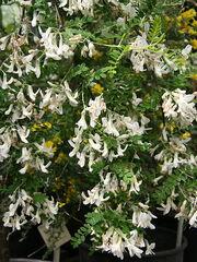 Dresde-Sophora viciifolia 01.jpg
