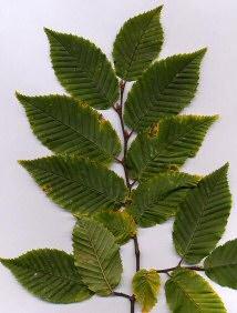 follaje de un Carpinus európeo