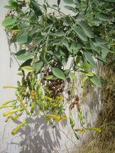 Nicotiana glauca.jpg