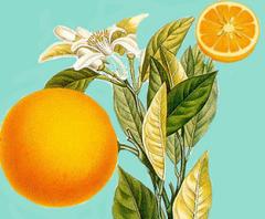 Naranjo y fruto
