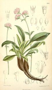 Nardostachys grandiflora.jpg