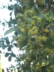 Quillaja saponaria12.jpg