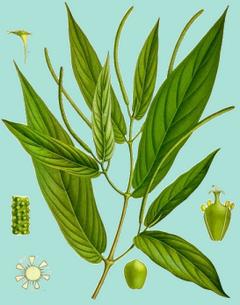 Dibujo del Achiotlín (Piper angustifolium Lam.Autor: Koehler