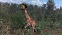 Günsche the giraffe