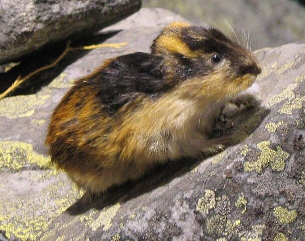 File:Lemming.jpg