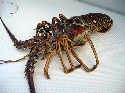 File:Rock lobster.jpg