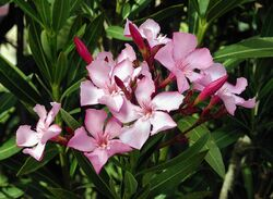800px-Nerium oleander flowers leaves