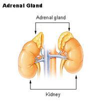 Illu adrenal gland