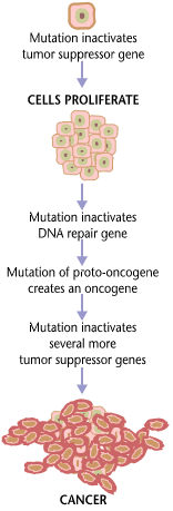 Cancer requires multiple mutations from NIHen