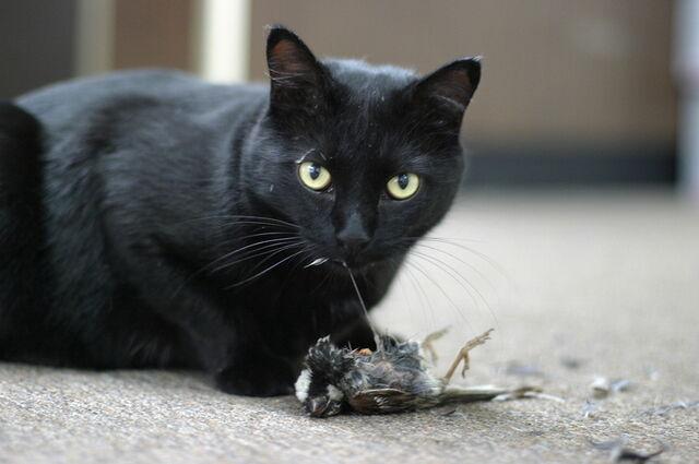 File:Cat-eating-prey.jpg